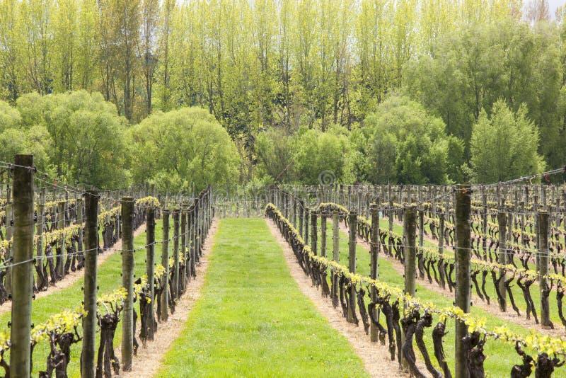 Vignobles à un établissement vinicole en premier ressort, Moutere supérieur, Nelson, île du sud, Nouvelle-Zélande images stock