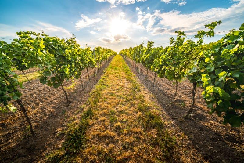 Vignobles au coucher du soleil en Autriche avec le beau ciel de soirée image stock