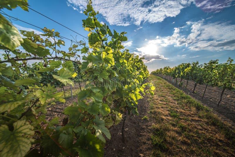 Vignobles au coucher du soleil en Autriche avec le beau ciel de soirée photo libre de droits