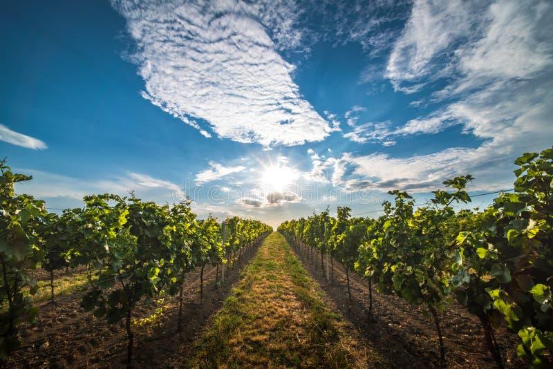 Vignobles au coucher du soleil en Autriche avec le beau ciel de soirée image libre de droits
