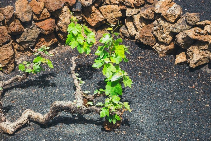 Vignobles célèbres de La Geria sur le sol volcanique, Lanzarote photographie stock