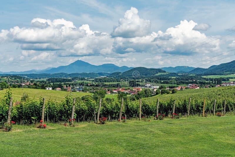 Vignobles dans le secteur de Slovenske Konjice photographie stock