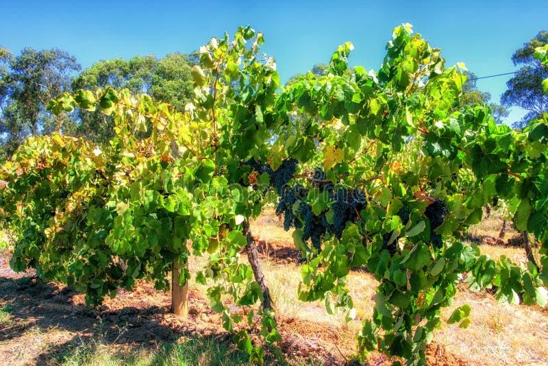 Vignobles de la vallée Barossa dans l'Australie du sud image libre de droits