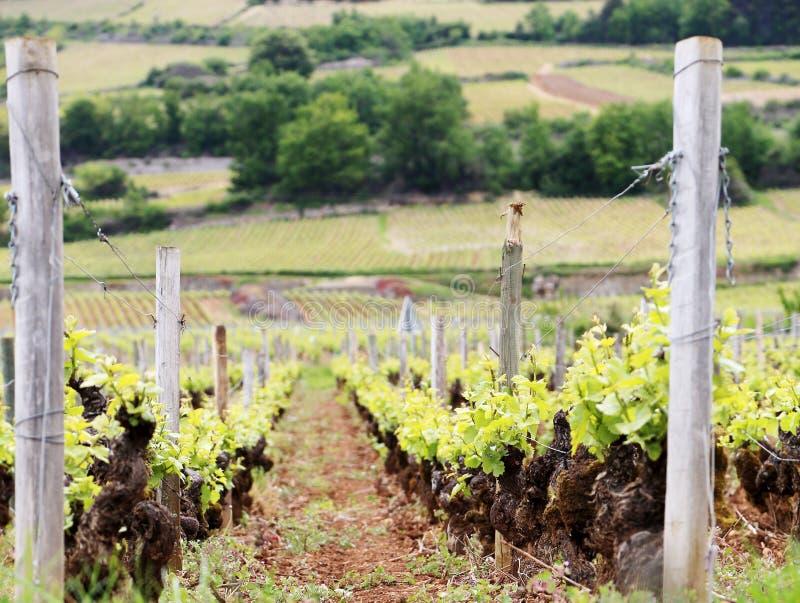 Vignobles de raisin non mûr au coucher du soleil dans la moisson d'automne images stock