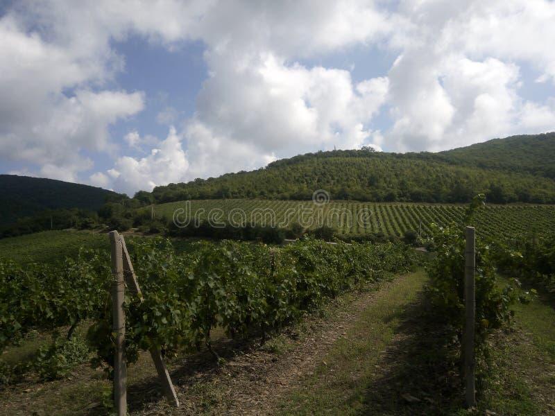 Vignobles de witg de paysage, Abrau Durso photographie stock libre de droits