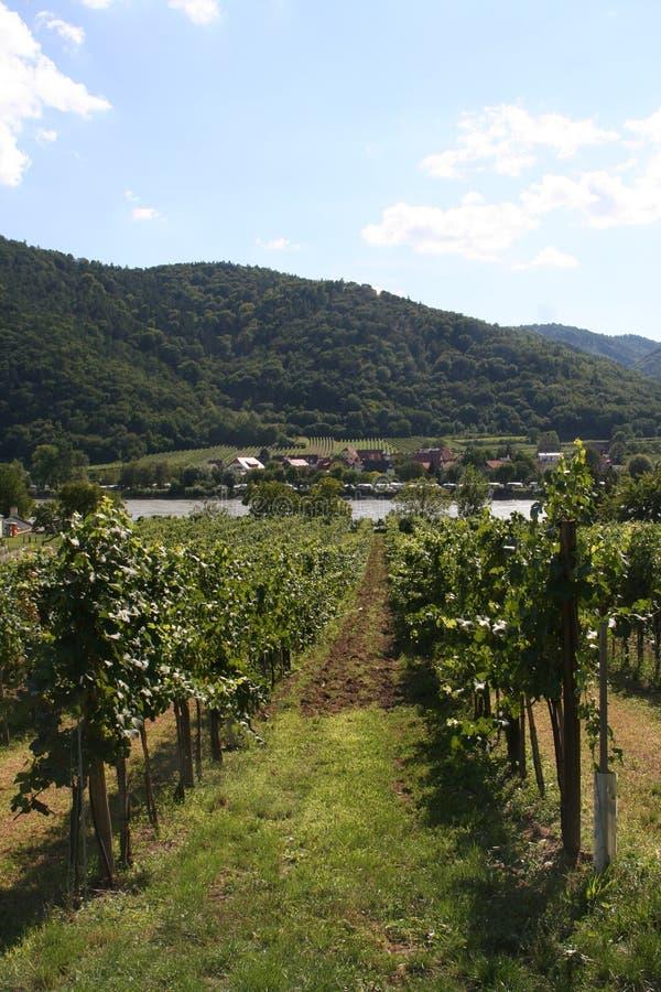 Vignobles donnant sur le Danube photos libres de droits