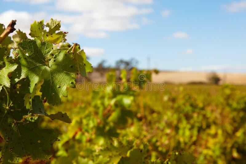 Vignobles du Cap-Occidental photographie stock