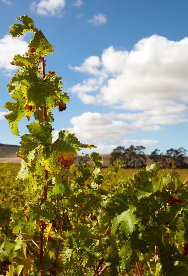Vignobles du Cap-Occidental images stock