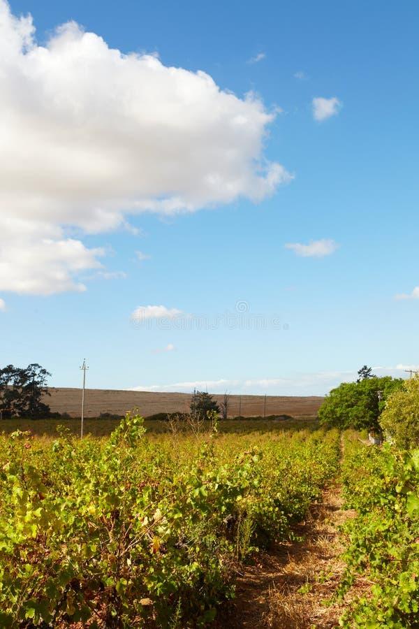 Vignobles du Cap-Occidental photo stock