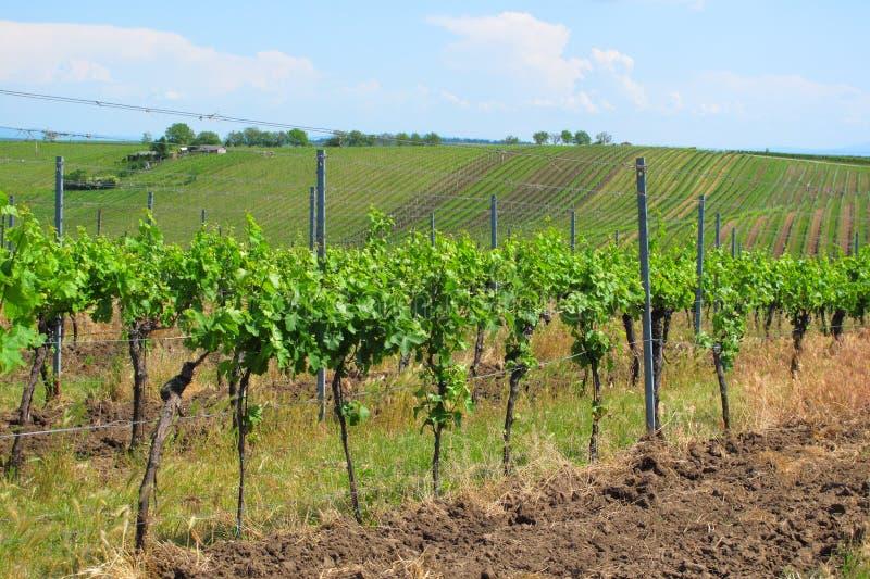 Vignobles en Moravie image libre de droits