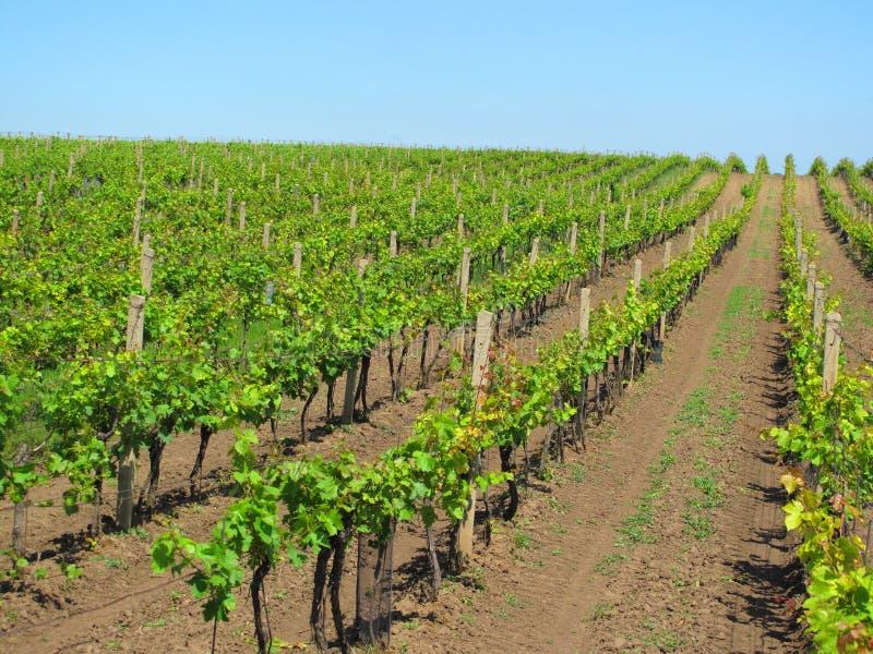 Vignobles en Moravie photo libre de droits