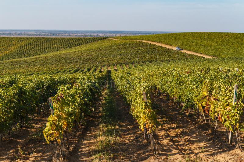 Vignobles en Ukraine photos libres de droits