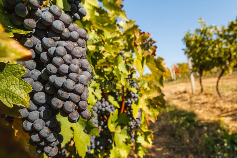 Vignobles en Ukraine photographie stock