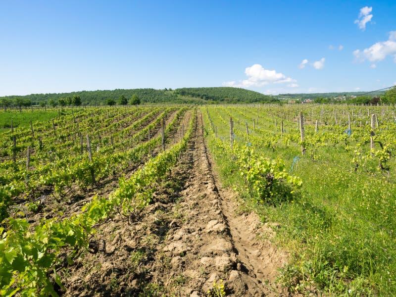 Vignobles près de Focsani, Roumanie, au printemps image stock