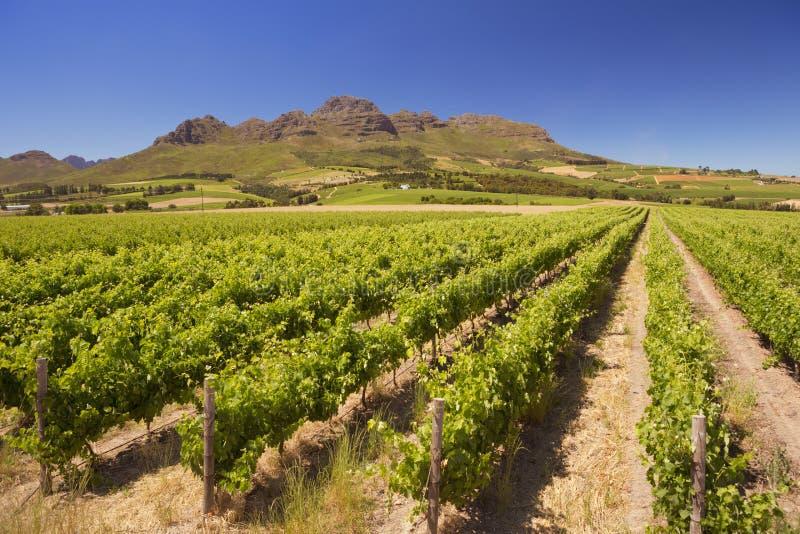 Vignobles près de Stellenbosch en Afrique du Sud images stock