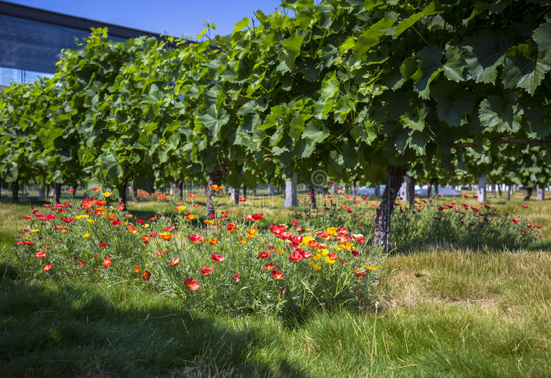 Vignobles près du château Wackerbarth, Dresde, Allemagne images libres de droits