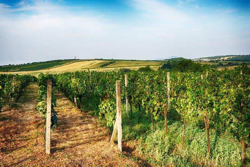 vignobles tchèques de Moravie photos stock