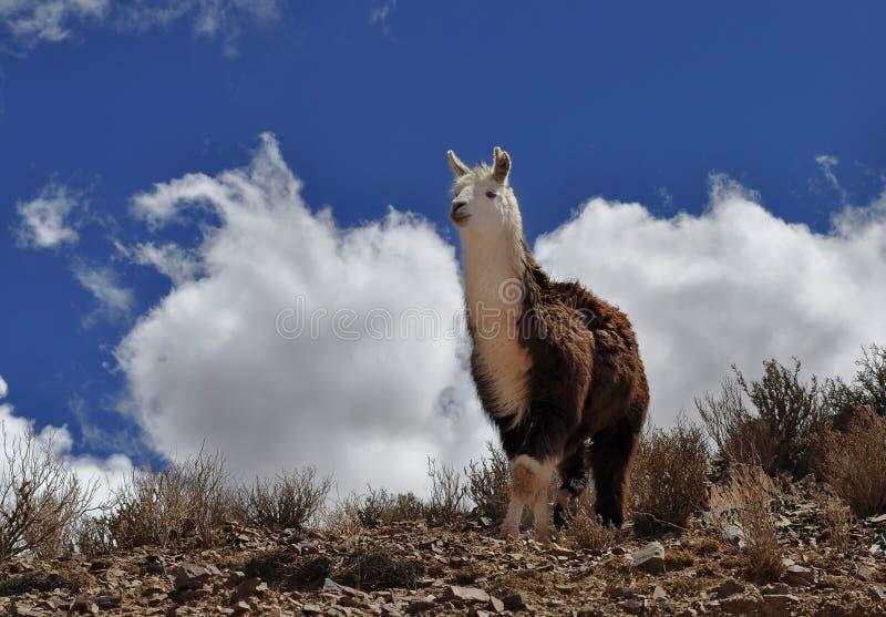 Vigogna sulle Ande fotografia stock