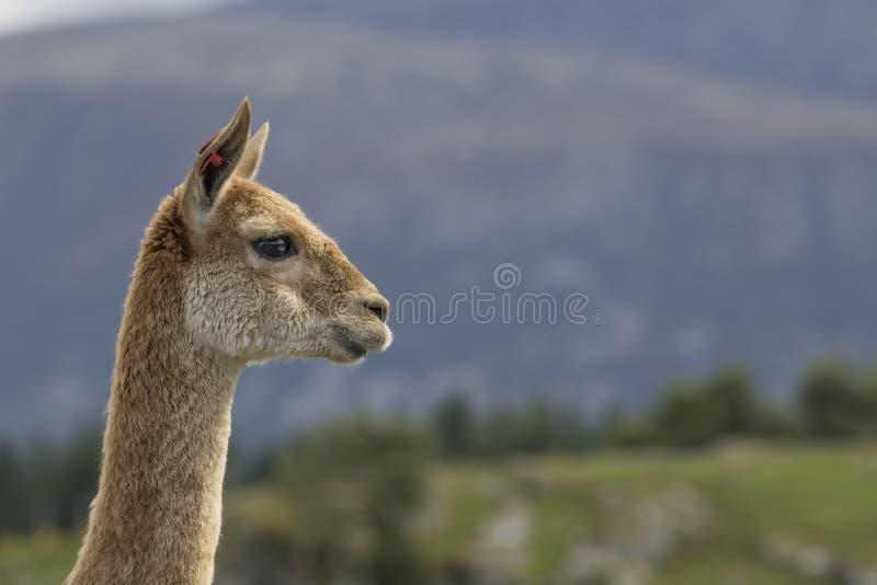 Vigogne, chameau, portrait image stock
