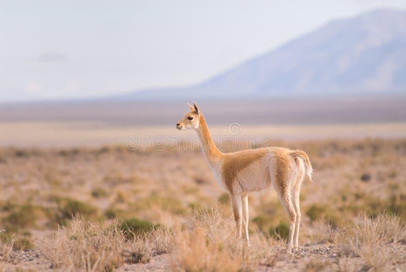 vigogne du sud de vicugna de vicgna de camelid d'ameri photos stock