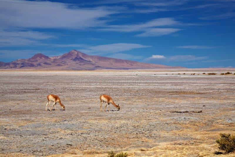 Vigognes à Salar de Tara, Chili photographie stock libre de droits