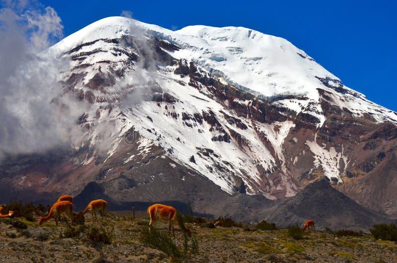 Vigognes et Volcan Chimborazo, Equateur images stock