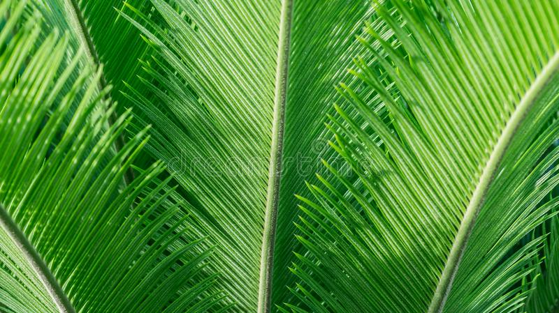 Green palm leaves. Vigorous green palm leaves. natural texture background royalty free stock image