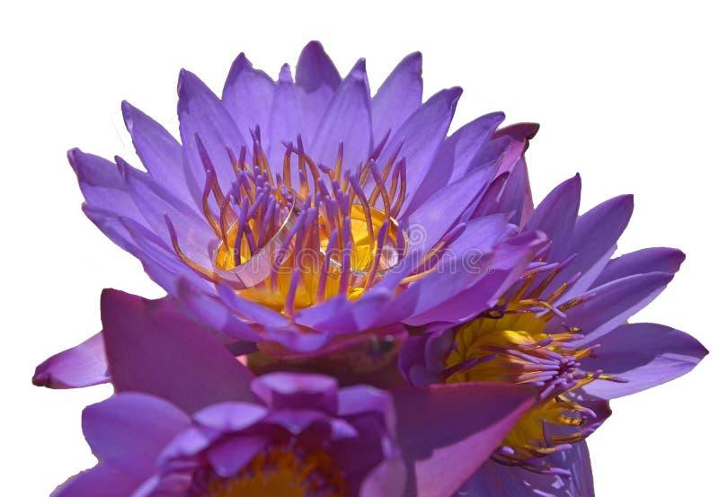Vigselringar i en bukett av purpurfärgade lotusblommaknoppar på en vit bakgrund som isoleras arkivbilder