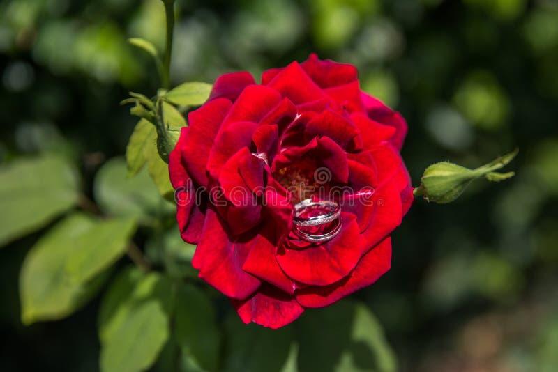 Vigselringar i en röd ros i naturligt ljus royaltyfri fotografi