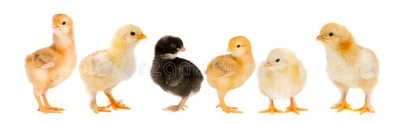 Vijf gele kuikens en één kuikenzwarte