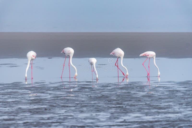 Vijf Grotere Flamingo's die in de lagune bij Walvis-Baai voeden stock foto