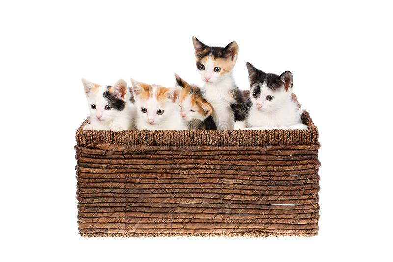 Vijf katjes die van het twee maanden oud leuke en grappige calico in een rieten die mand zitten, op witte achtergrond wordt geïso stock afbeeldingen