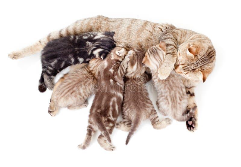 Vijf katjeskroost het voeden door moederkat stock afbeelding