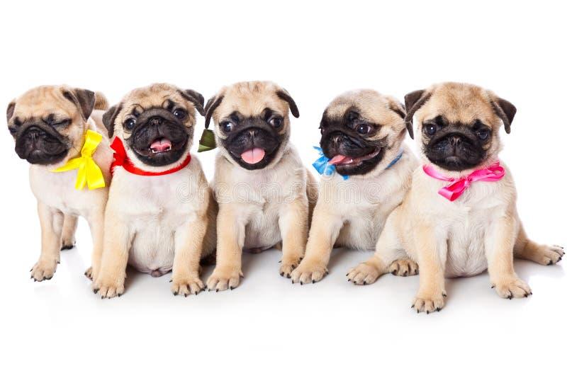 Vijf puppy van pug stock afbeeldingen