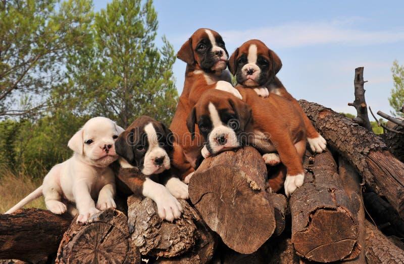 Vijf puppybokser stock afbeeldingen