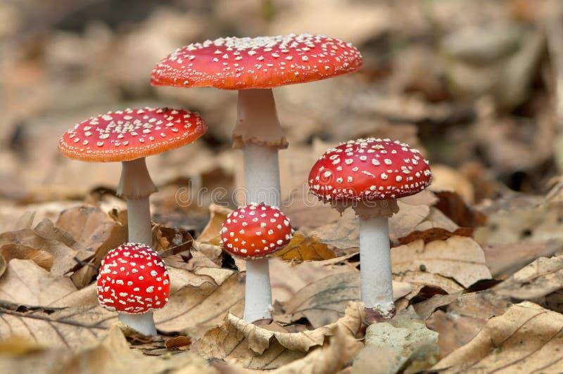Vijf rode paddestoelenpaddestoelen stock afbeelding