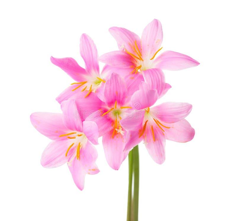 Vijf roze die lelies op een witte achtergrond worden geïsoleerd Rosy Rain-lelie royalty-vrije stock afbeeldingen