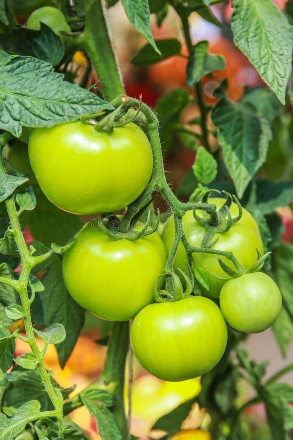 Vijf ruwe groene tomaten stock fotografie