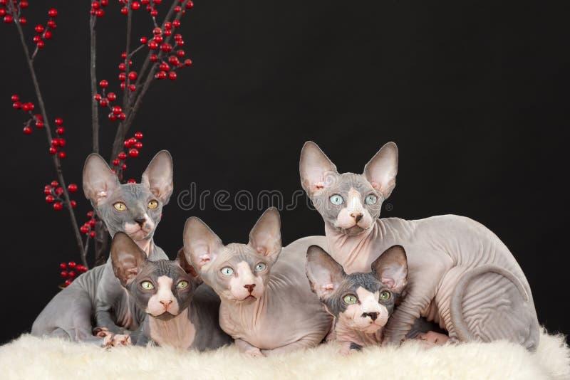 Vijf sphynxkatje stock afbeeldingen