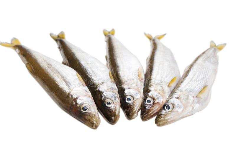 Vijf stukken ruwe delicatesse spiering-vissen op witte achtergrond alvorens eiwitdieetschotel te koken stock afbeeldingen