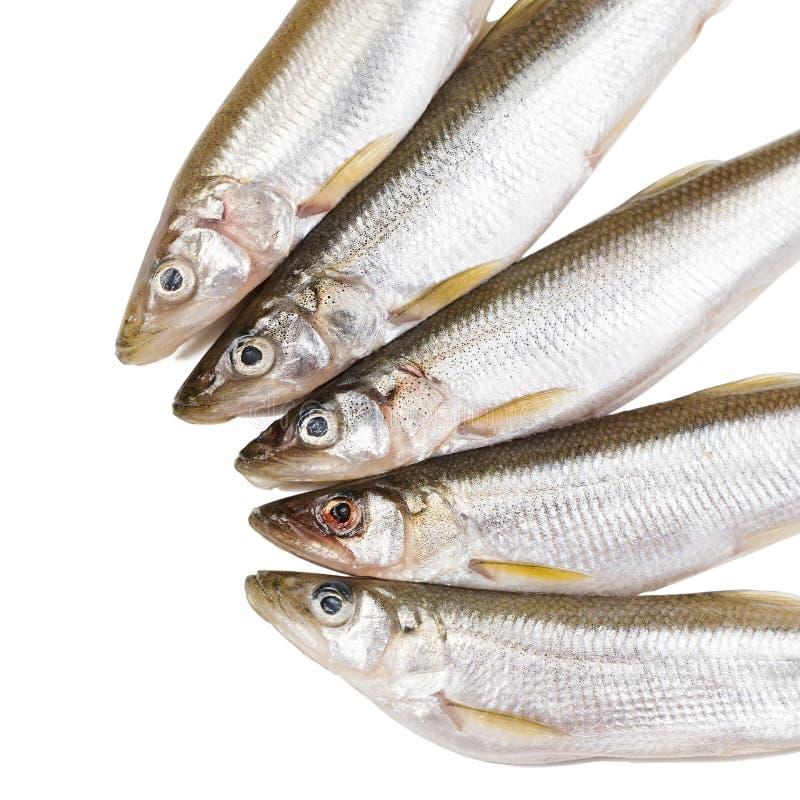 Vijf stukken ruwe delicatesse spiering-vissen op witte achtergrond alvorens eiwitdieetschotel te koken royalty-vrije stock foto