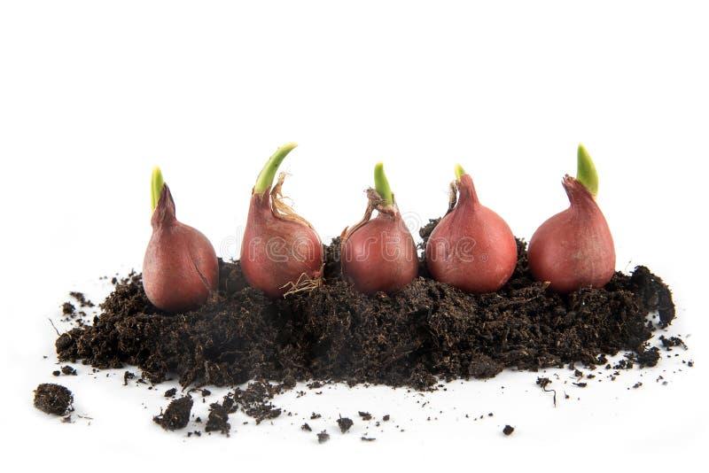 Vijf tulpenbollen met spruiten die in potting grond geïsoleerd w groeien royalty-vrije stock afbeeldingen