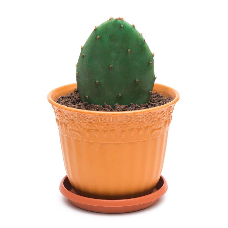 Vijgcactus in een pot op witte achtergrond stock foto