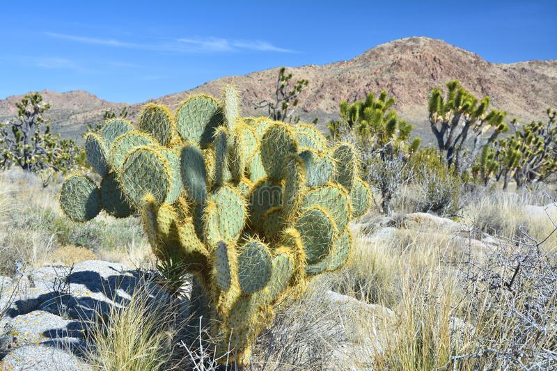 Vijgcactus en Joshua Trees op Mojave-woestijn stock afbeelding