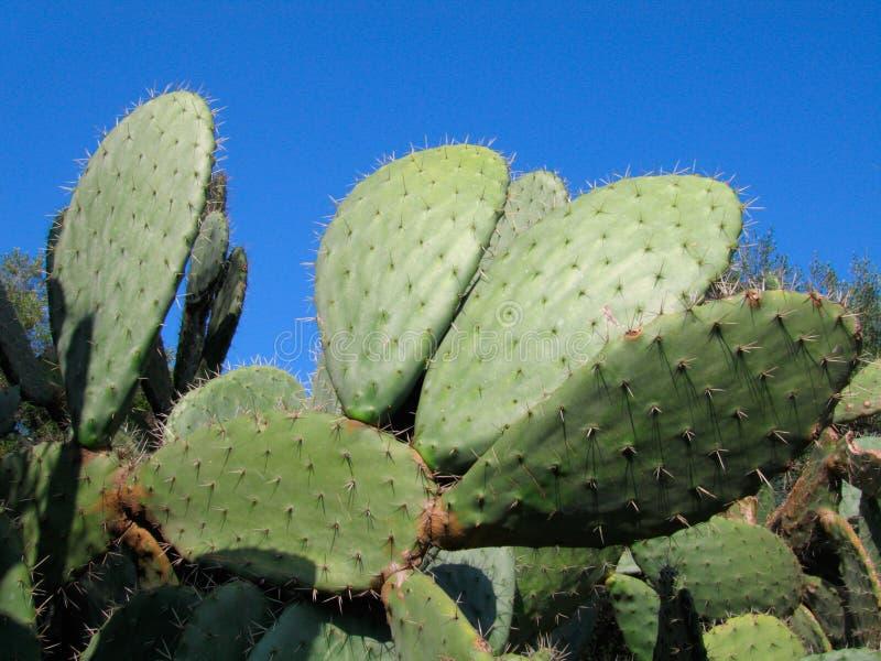 Vijgcactus op blauwe hemel - Algerije royalty-vrije stock fotografie
