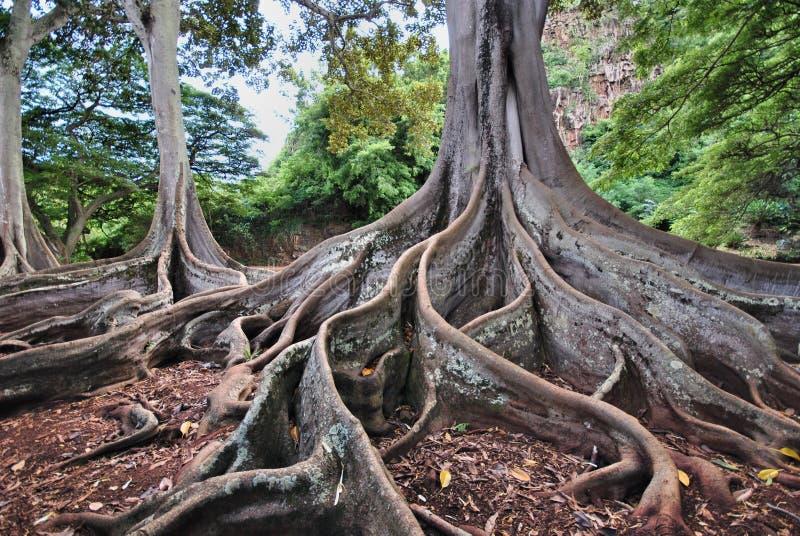 Vijgebomen stock fotografie
