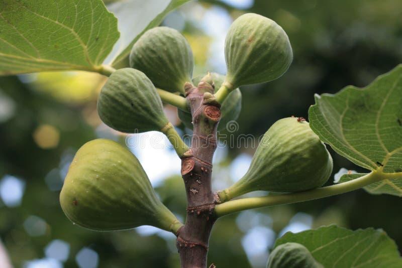 Vijgeboom stock foto