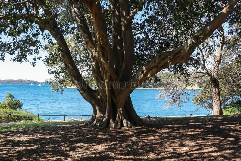 Vijgeboom tegen het overzees royalty-vrije stock foto