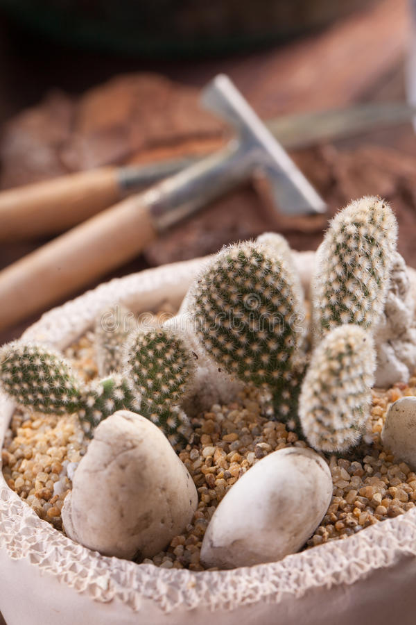 Vijgencactus Microdasys royalty-vrije stock afbeelding