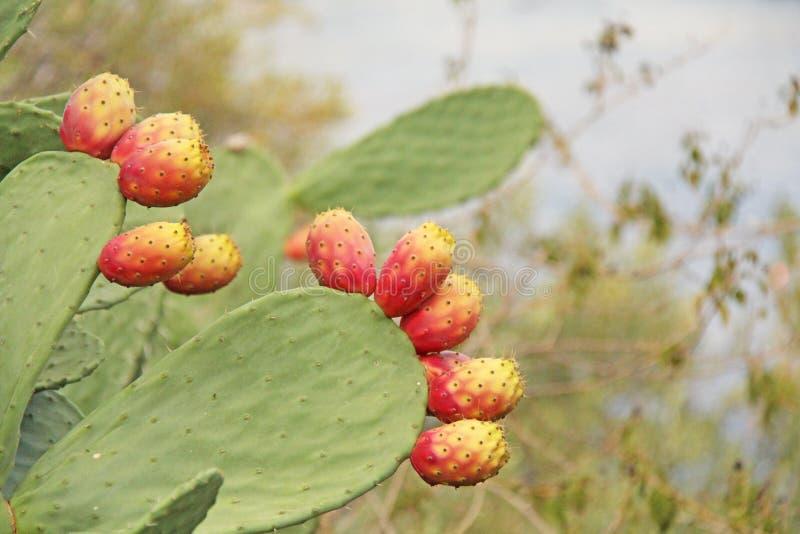 Vijgencactuscactus en Cactusvruchten op de Blauwe Hemelachtergrond Familie Cactaceae Amerika, Mexico, Spanje, Italië royalty-vrije stock foto's
